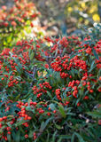 Pyracantha Stock Images