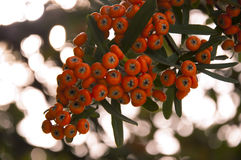 Pyracantha. The cluster of bright orange berries of pyrocantha on the branch in natural conditions close up Stock Photos