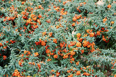 Pyracantha coccinea. Background closeup orange color royalty free stock images