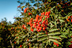 Pyracantha coccinea. Berries hanging on a branch in natural surroundings royalty free stock photography