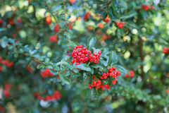 Pyracantha coccinea. Close-up of Red Cratecus berries. Pyracantha coccinea royalty free stock image