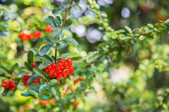 Pyracantha coccinea. Close-up of Red Cratecus berries. Pyracantha coccinea royalty free stock photography