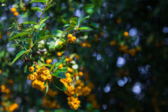 Pyracantha coccinea. Close-up of yellow Cratecus berries. Pyracantha coccinea stock images