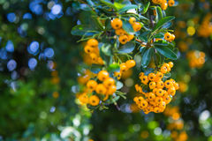 Pyracantha coccinea. Close-up of yellow Cratecus berries. Pyracantha coccinea royalty free stock photo
