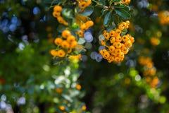Pyracantha coccinea. Close-up of yellow Cratecus berries. Pyracantha coccinea stock photos
