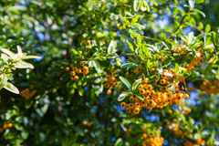 Pyracantha coccinea. Close-up of yellow Cratecus berries. Pyracantha coccinea stock image