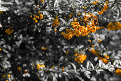 Pyracantha coccinea. Close-up of yellow Cratecus berries. Pyracantha coccinea royalty free stock photos