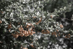 Pyracantha coccinea. Close-up of yellow Cratecus berries. Pyracantha coccinea royalty free stock images