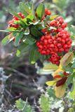 Pyracantha coccinea in my garden at Fall. Pyracantha coccinea currently called scarlett or red firethorn is a very decorative shrub royalty free stock image