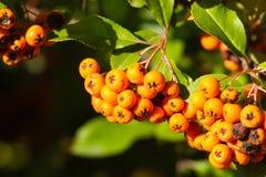 Pyracantha coccinea orange bush. Scarlet firethorn plant. Pyracantha coccinea orange bush. Scarlet firethorn autumn plant royalty free stock photos