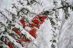 Pyracantha coccinea. Pyracantha is a perennial evergreen shrub with long thorns. In spring the plant is completely covered with creamy-white fragrant flowers royalty free stock photos