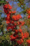 Pyracantha coccinea. Pyracantha is a perennial evergreen shrub with long thorns. In spring the plant is completely covered with creamy-white fragrant flowers stock photography