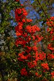 Pyracantha coccinea. Pyracantha is a perennial evergreen shrub with long thorns. In spring the plant is completely covered with creamy-white fragrant flowers stock images