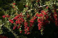 Pyracantha coccinea. Picture of the beautiful autumn pyracantha coccinea royalty free stock image