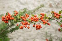 Pyracantha coccinea. Red berries autumn blossom flourish on the shrub royalty free stock photos