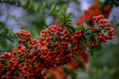 Pyracantha coccinea after rain. Pyracantha is a perennial evergreen shrub with long thorns. In spring the plant is completely covered with creamy-white fragrant royalty free stock images