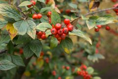Pyracantha coccinea. Red berries autumn blossom flourish on the shrub royalty free stock images
