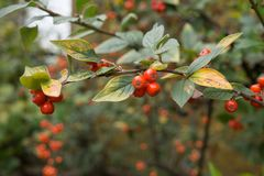 Pyracantha coccinea. Red berries autumn blossom flourish on the shrub stock images