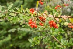 Pyracantha coccinea. Red berries autumn blossom flourish on the shrub stock photo