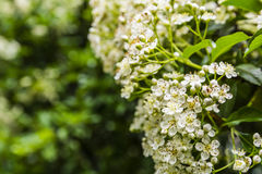 Pyracantha coccinea (scarlet firethorn). Pyracantha coccinea (scarlet firethorn) blossomed in the spring royalty free stock images
