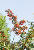 Pyracantha coccinea, the scarlet firethorn shrub, red orange ber Stock Photo