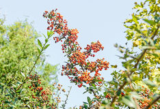 Pyracantha coccinea, the scarlet firethorn shrub. Red orange berries royalty free stock photos