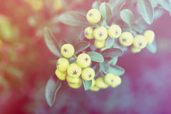 Pyracantha coccinea yellow berries in autumn garden. Selective focus. Coloured tinted royalty free stock photo