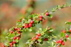 Pyracantha della pianta di Firethorn con le bacche o i pomi rossi luminosi in autunno immagini stock libere da diritti