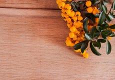 Pyracantha en el fondo de madera Imagen de archivo libre de regalías
