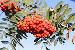 Pyracantha or Fire Thorn Berries Stock Photos