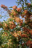 Pyracantha firelight, orange berry hedge plants Royalty Free Stock Image