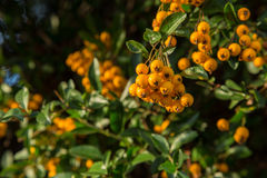Pyracantha of firethorn Royalty-vrije Stock Afbeelding