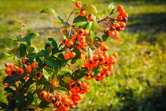 Pyracantha Firethorn orange berries with green leaves Royalty Free Stock Photos