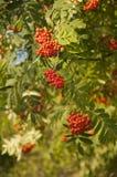 Pyracantha Firethorn pomarańcze jagody Obrazy Stock
