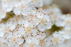 Pyracantha Flowers Royalty Free Stock Photos