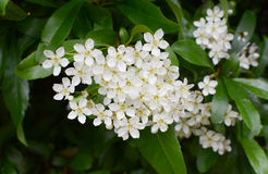 Pyracantha flowers Stock Photography