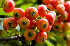 Pyracantha fructification Royalty Free Stock Image