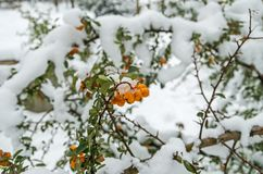 Pyracantha fruits Stock Photography