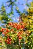 Pyracantha. Is a genus of thorny evergreen large shrubs in the family Rosaceae, with common names firethorn Stock Photography
