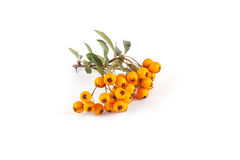 Pyracantha isolated on white background stock images