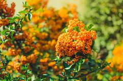 Pyracantha plant in the garden autumn Royalty Free Stock Images