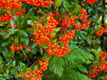 Pyracantha Stock Photo