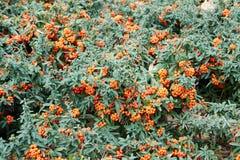 Pyracanthacoccinea Royaltyfria Bilder
