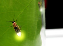 Pyractomena borealis. Lightning bugs in a jar-soft focus diffusion through glass, enhanced with photoshop Stock Images