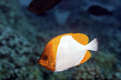 Pyramid Butterfly Fish Stock Photo