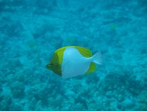 Pyramid Butterflyfish Stock Images