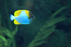 Pyramid butterflyfish Royalty Free Stock Photo