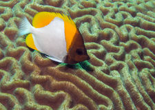 Pyramid butterflyfish on brain coral Royalty Free Stock Photos