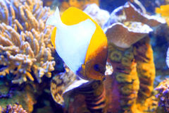 Pyramid butterflyfish Royalty Free Stock Photography