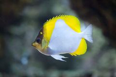 Pyramid butterflyfish Hemitaurichthys polylepis. Stock Photo